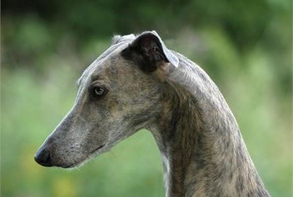 Greyhound - levriero inglese